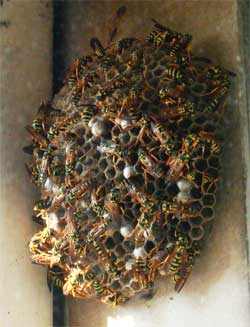 plantation wasp removal
